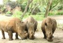 Disney's Animal Kingdom Announces Three Pregnant Rhinos